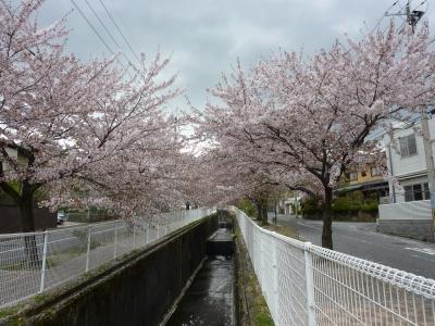 2011年きなこ桜散歩 005.JPG
