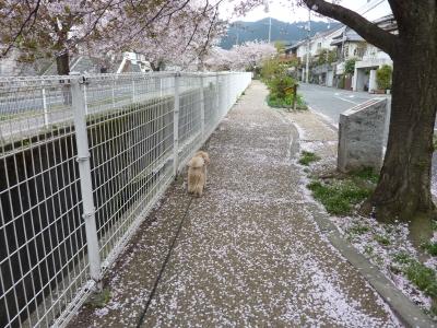 2011年きなこ桜散歩 011.JPG