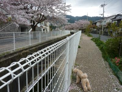 2011年きなこ桜散歩 014.JPG