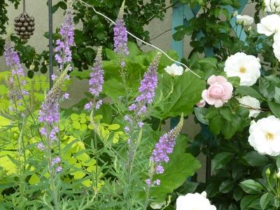 2011年5月26日薔薇の庭 057.JPG